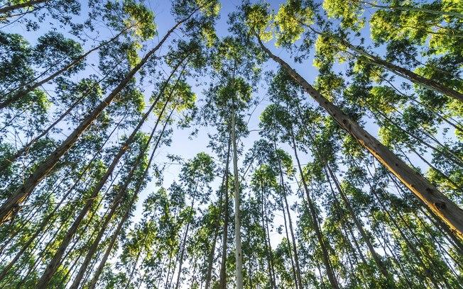 UFMG: técnica não destrutiva estima teor de celulose de espécie de eucalipto