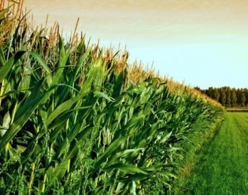 China pode buscar milho e trigo nos EUA, diz analista