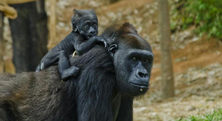 Aberta votação para escolher o nome do novo filhote de Gorila do zoológico de Belo Horizonte