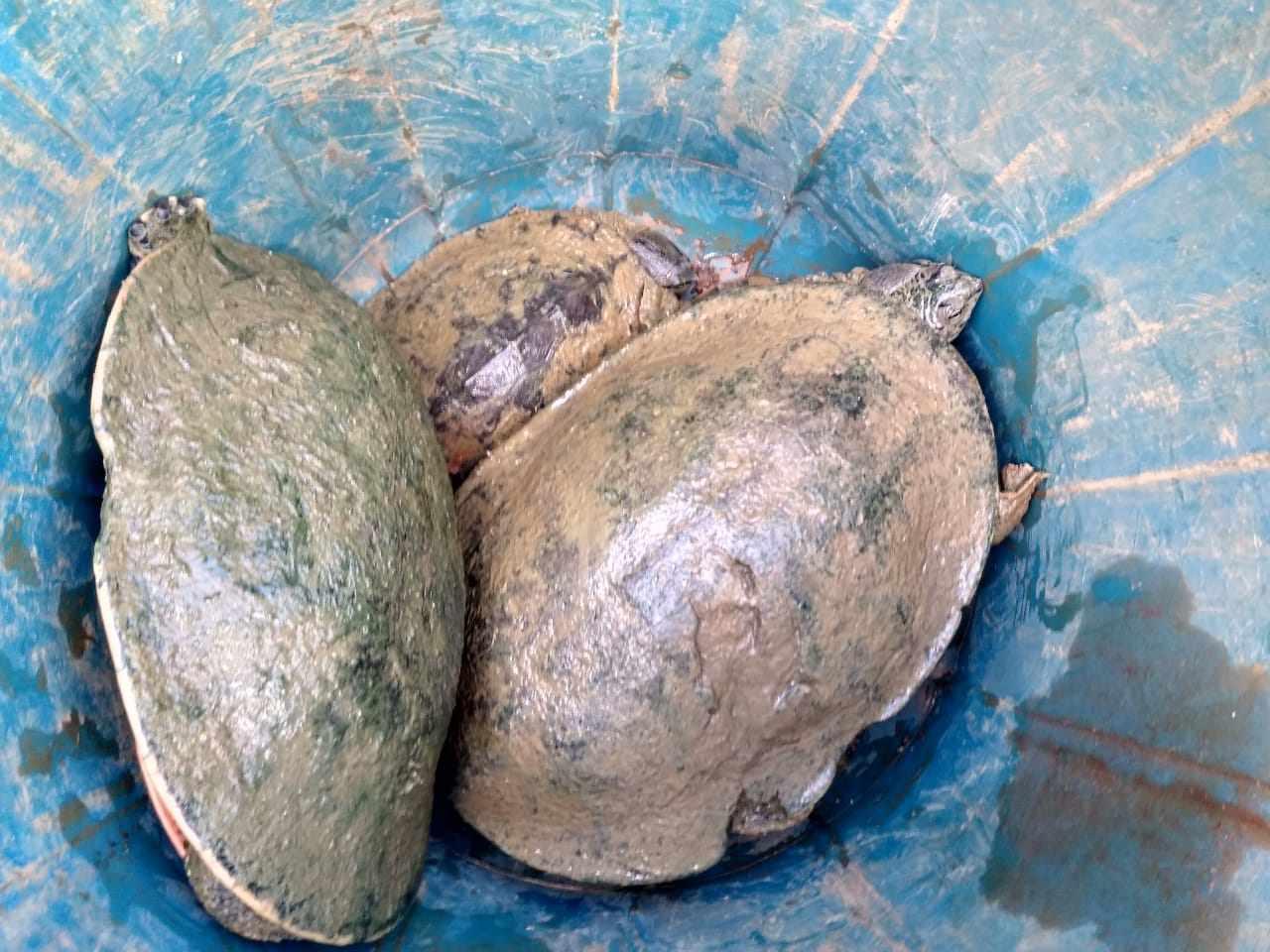 Montes Claros: mais de 580 cágados e tilápias já foram retirados no córrego do Cintra