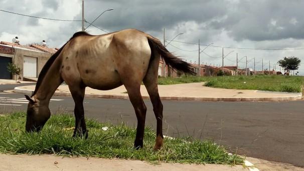Uberaba: 13 bovinos e 2 equinos soltos na rua são apreendidos pelo Departamento de Posturas
