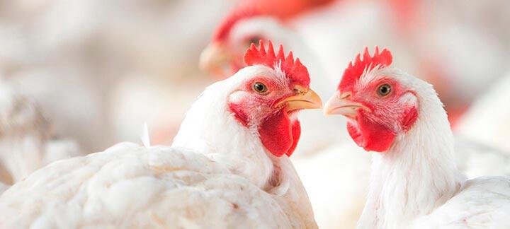 Custo de produção de aves sobe 8,6% e de suínos avança 6% em 2019, diz Embrapa