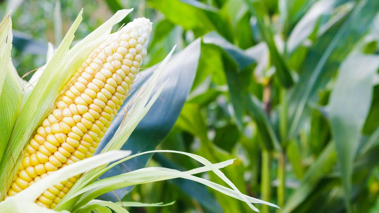 EUA-Irã: tensão pode dificultar exportação de milho pelo Brasil
