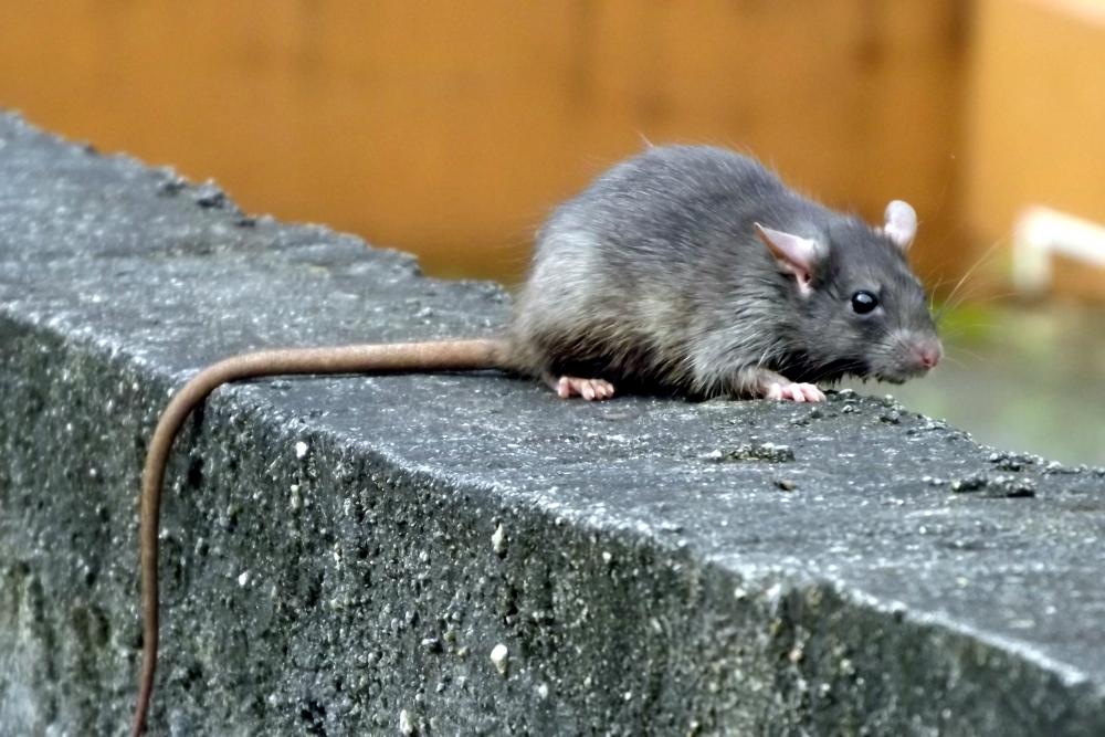 Com isolamento, ratos podem ficar mais agressivos com a falta de alimentos e expor população a doenças