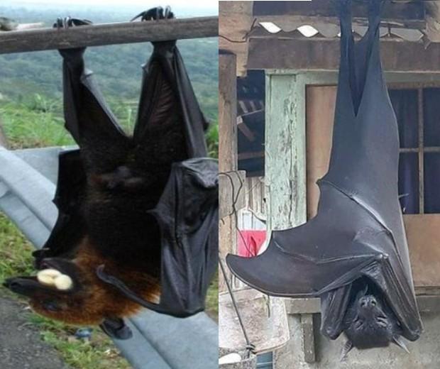 É verdade: morcego gigante chega a medir 1,30 metro