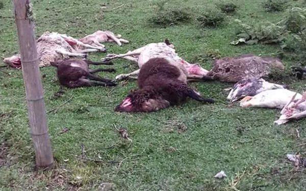 Pegadas misteriosas e animais mortos: o chupa-cabra está de volta?